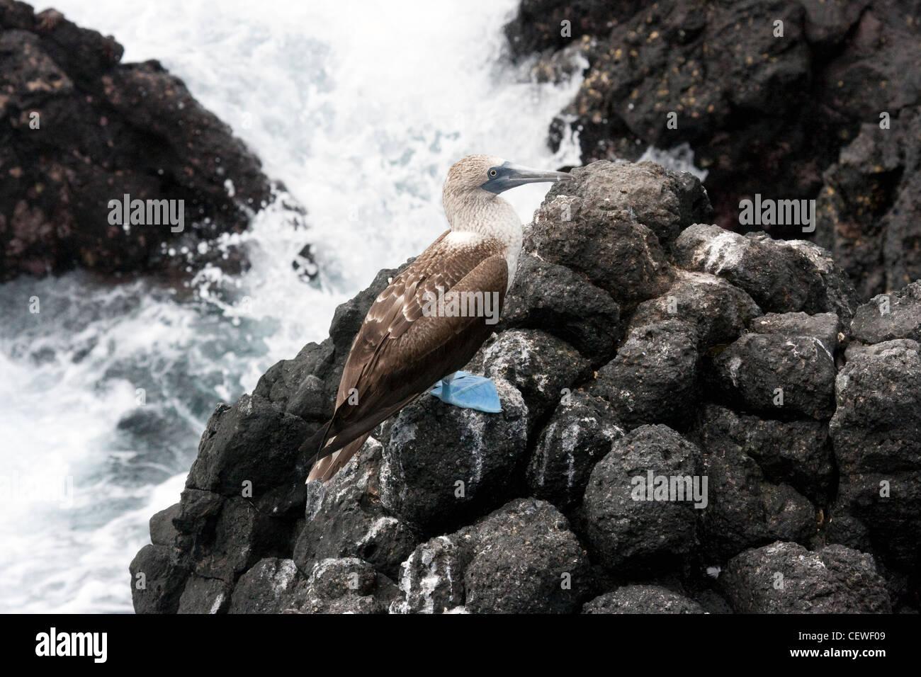 Pieds rouges bleu en Îles Galápagos Banque D'Images