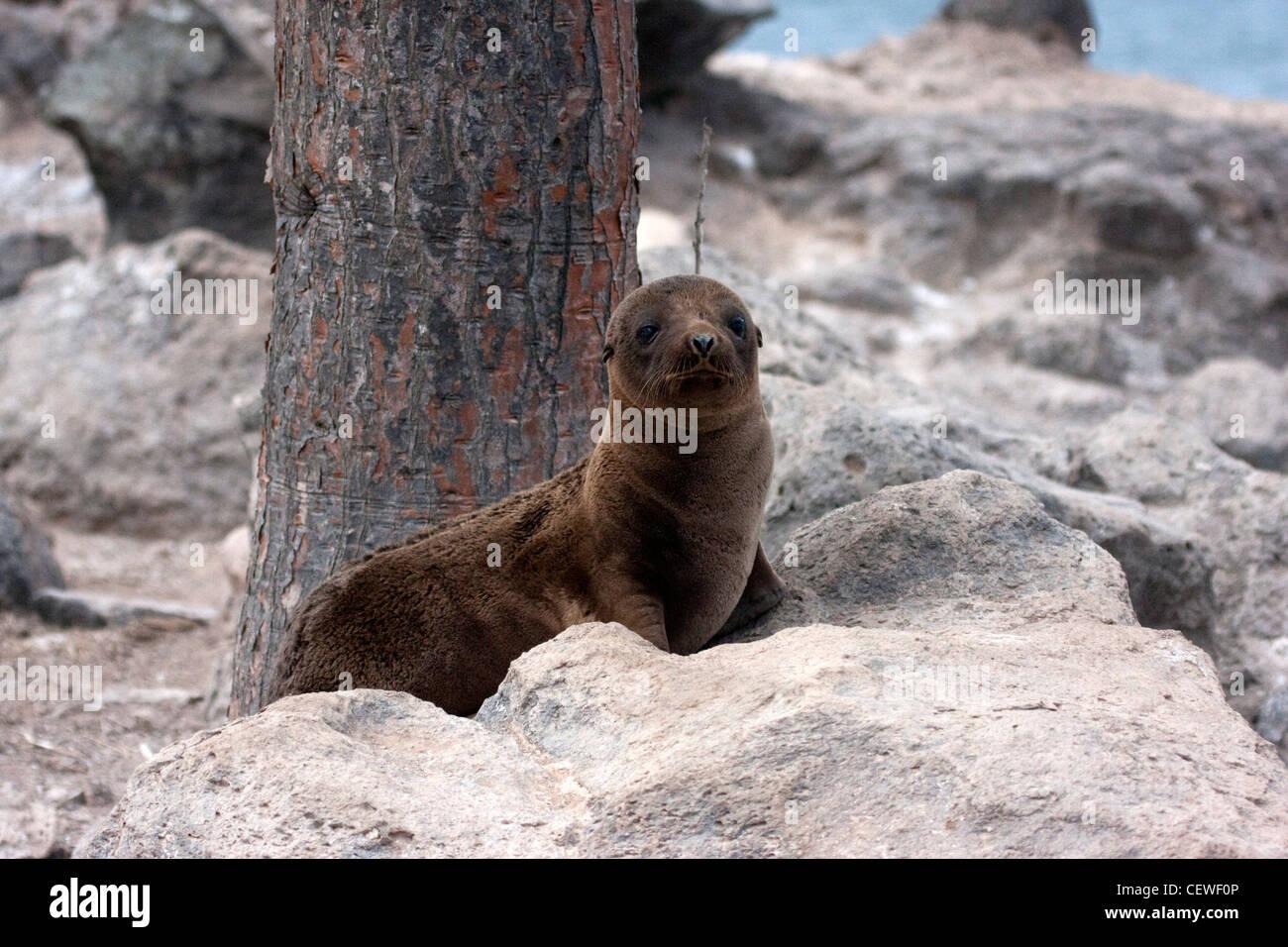 Pup lion de mer assis par un arbre dans les Galapagos Banque D'Images