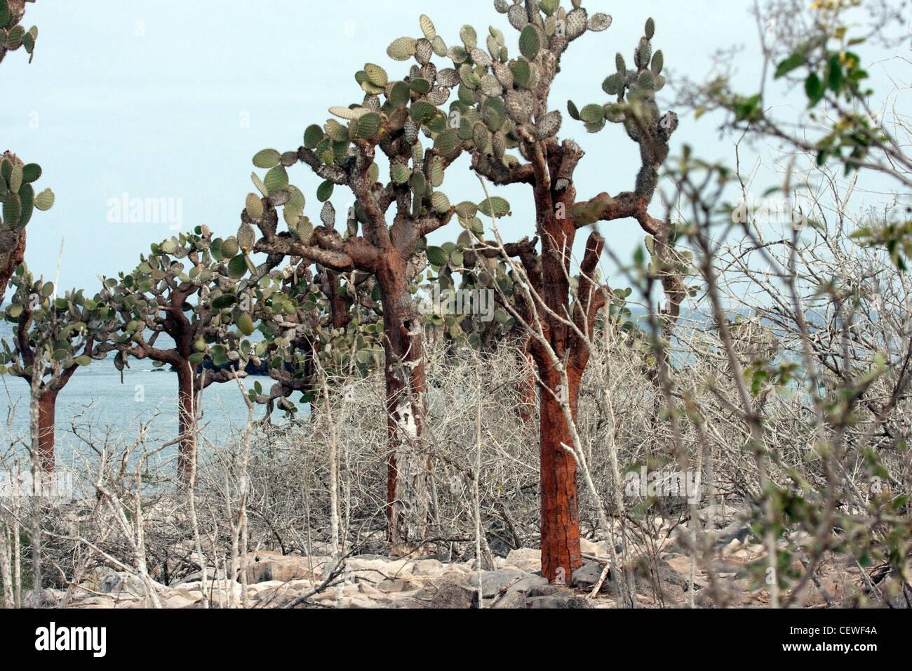 Cactus de Galapagos Banque D'Images
