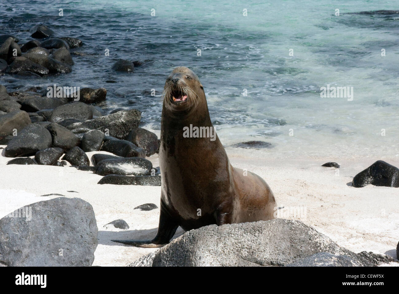 Lion de mer mâle en colère dans les îles Galapagos Banque D'Images