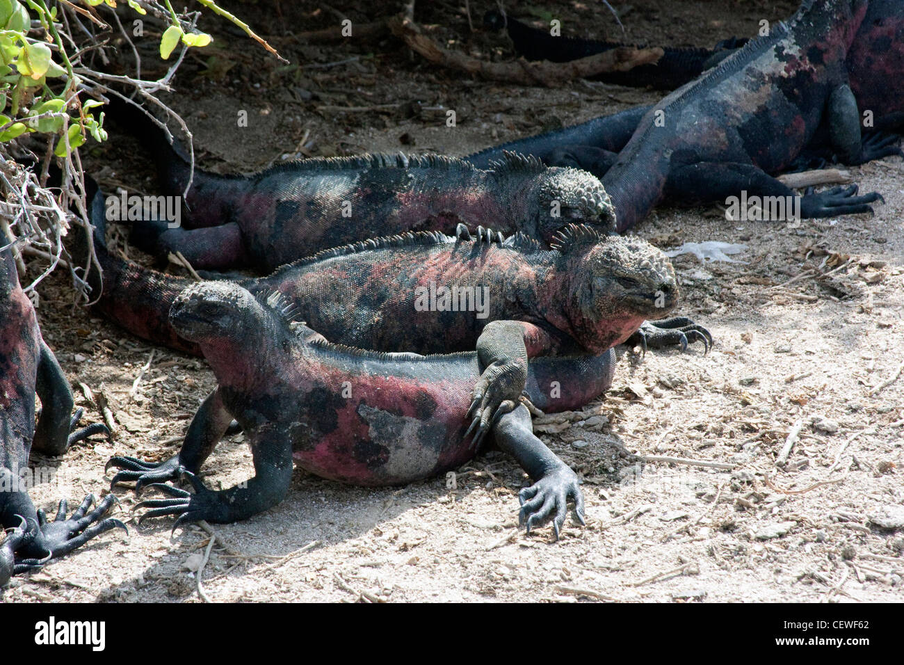 L'île des Galapagos iguanes marins se prélasser sur la plage Banque D'Images