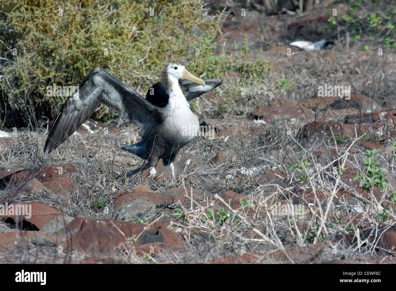 Les jeunes oiseaux Albatros apprendre à voler dans les îles Galapagos Banque D'Images