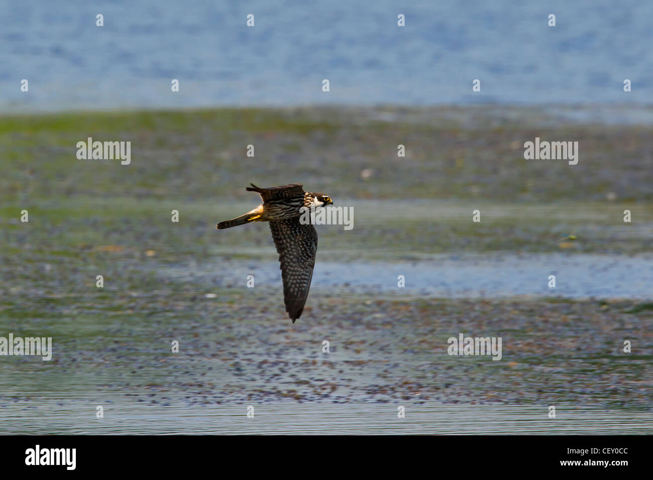 Eurasian Hobby (Falco subbuteo) chassant les libellules, au-dessus du lac, Allemagne Photo Stock