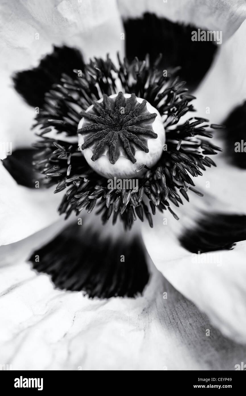 Papaver orientale 'Perrys White'. Close up sur milieu de fleur de pavot. Le noir et blanc Banque D'Images