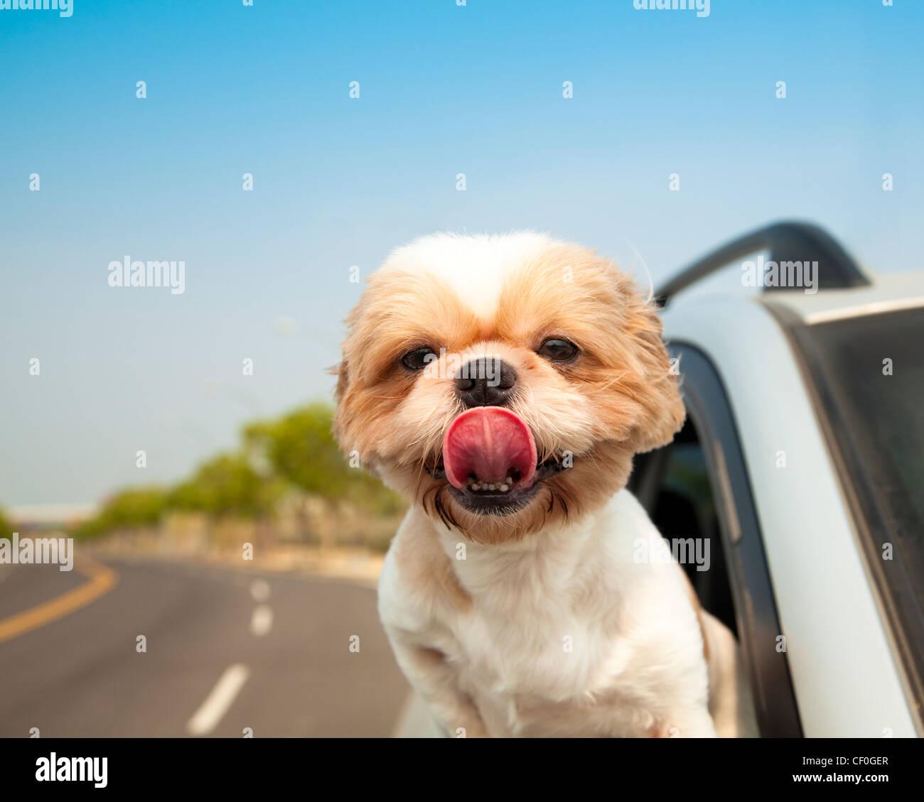 Chien dans la voiture Photo Stock