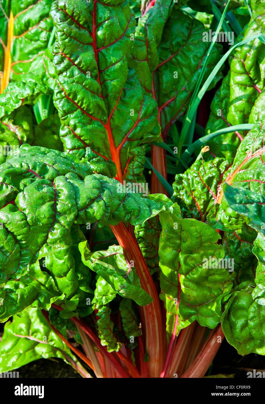 De plus en plus de rhubarbe dans un potager. Photo Stock