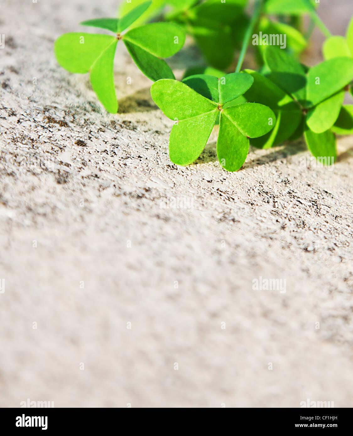 Les feuilles de trèfle frais sur la pierre, green spring floral border, lucky shamrock, St.Patrick's day, Photo Stock