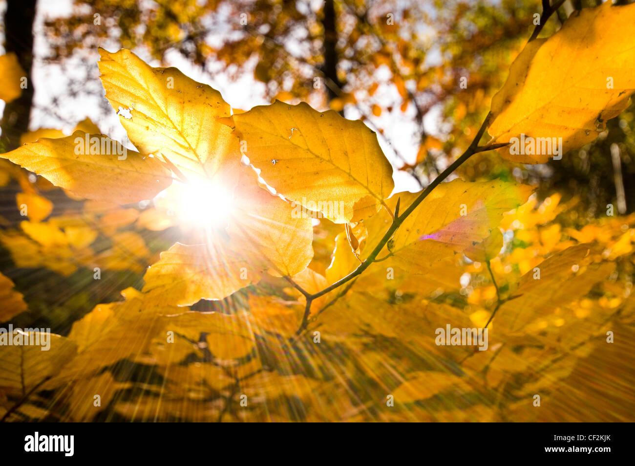 Soleil qui brille à travers les feuilles dorées d'un hêtre en automne. Photo Stock