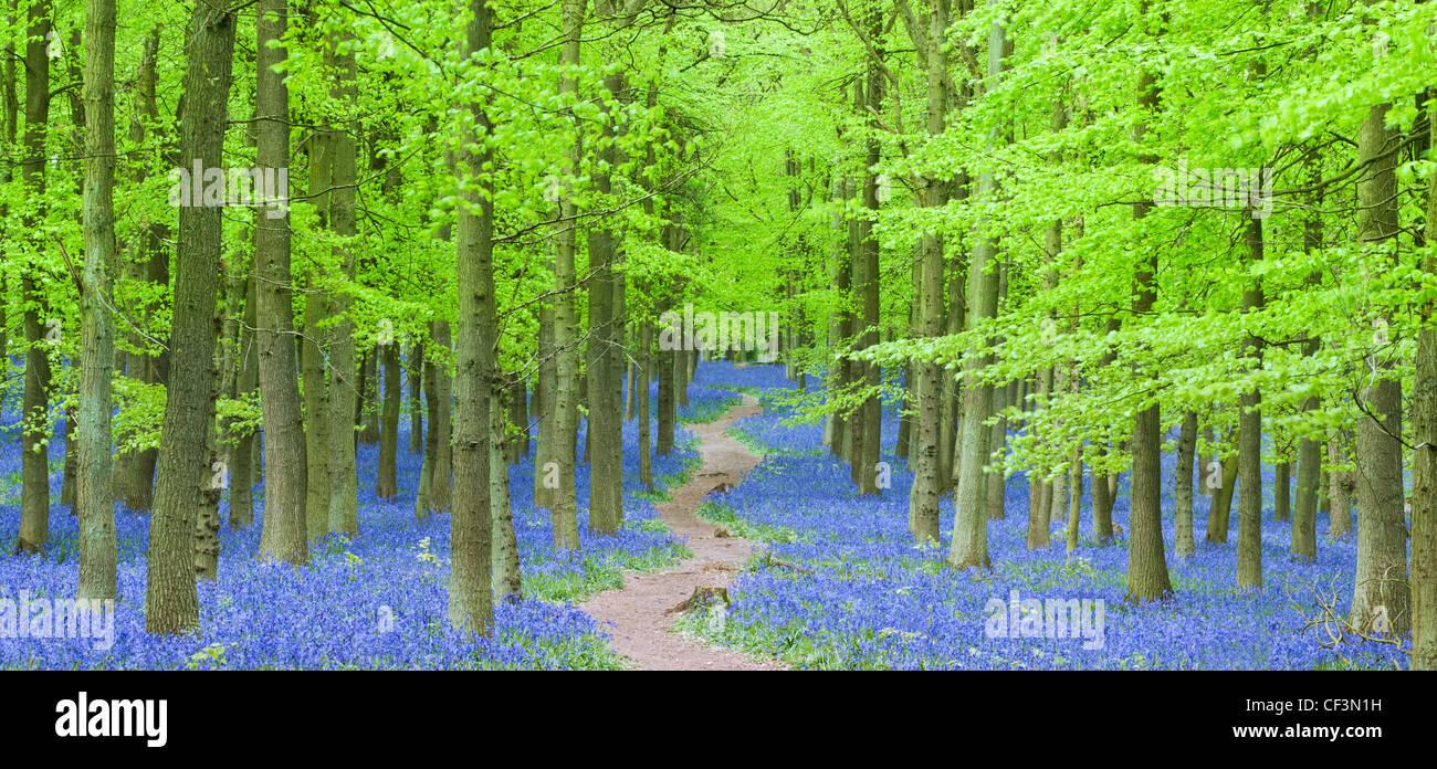Chemin coupant à travers Bluebells dans Dockey Woods sur le Hertfordshire/ Buckinghamshire frontière. Photo Stock