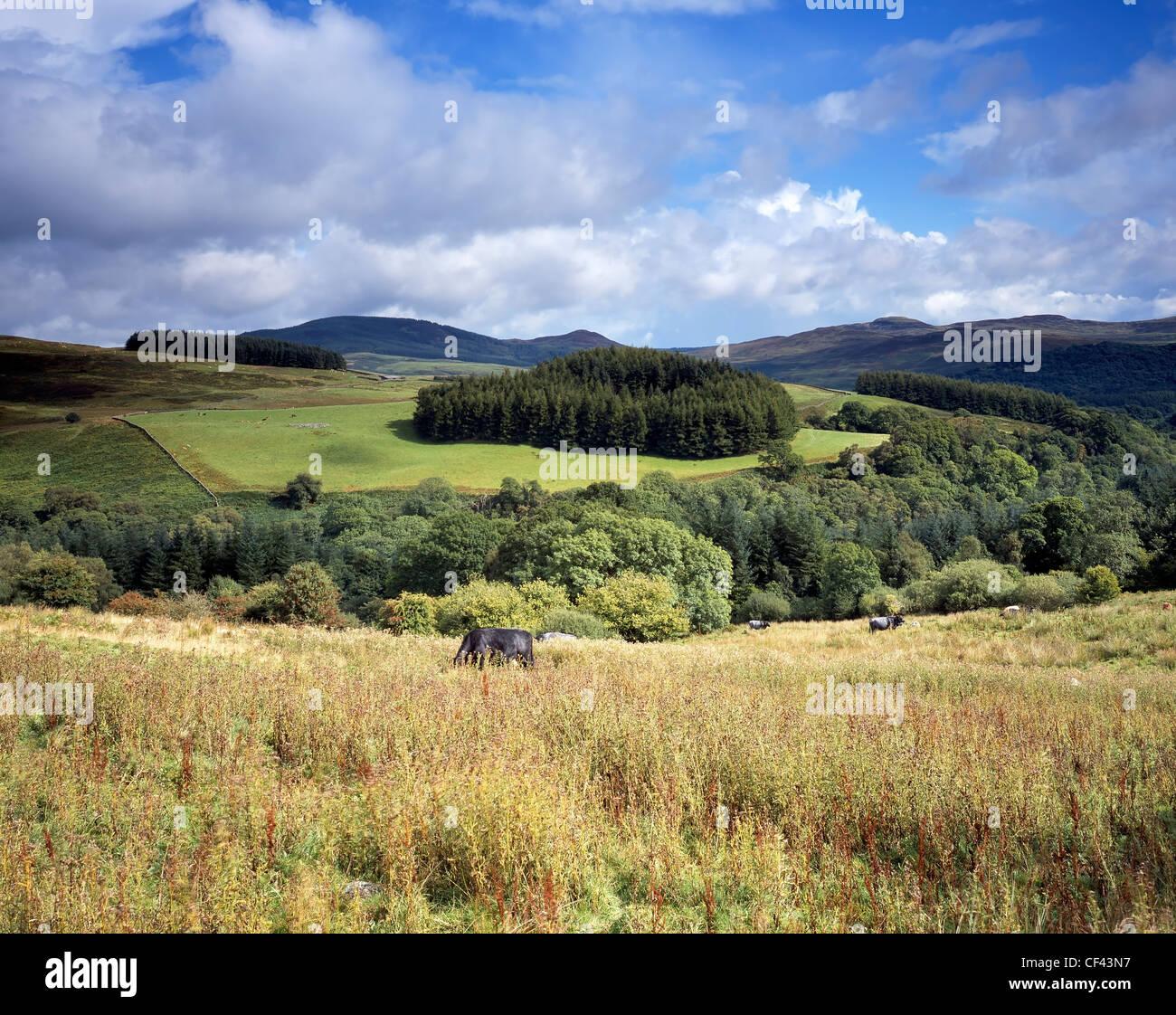 Le pâturage du bétail sur les collines et les champs du sud-ouest de l'Écosse. Photo Stock