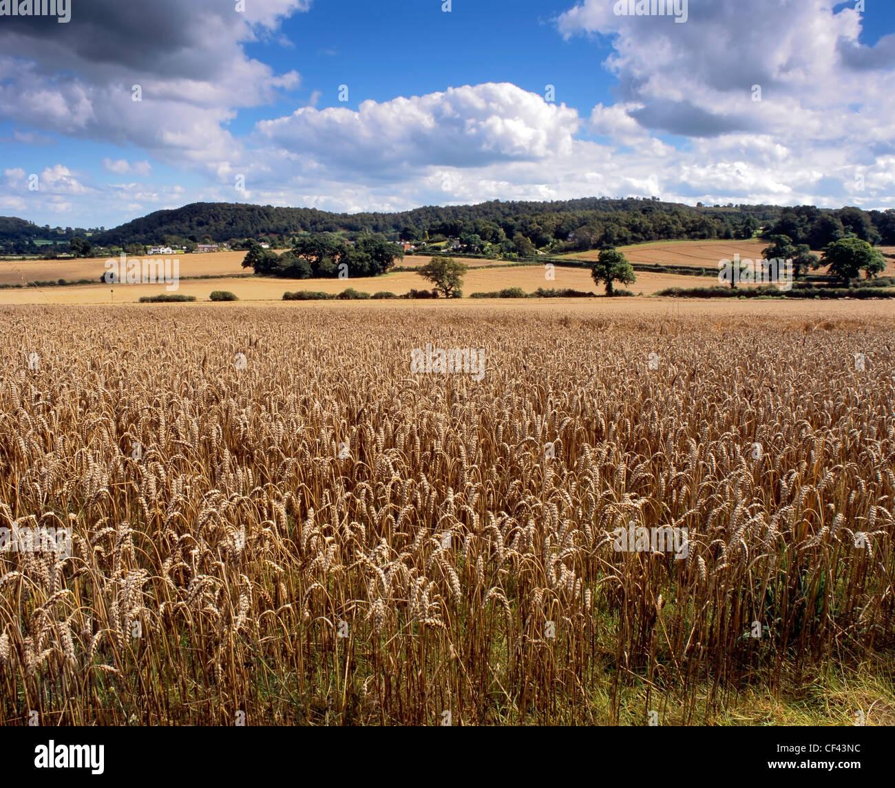 Un champ de blé près de maturation Bulkeley. Photo Stock