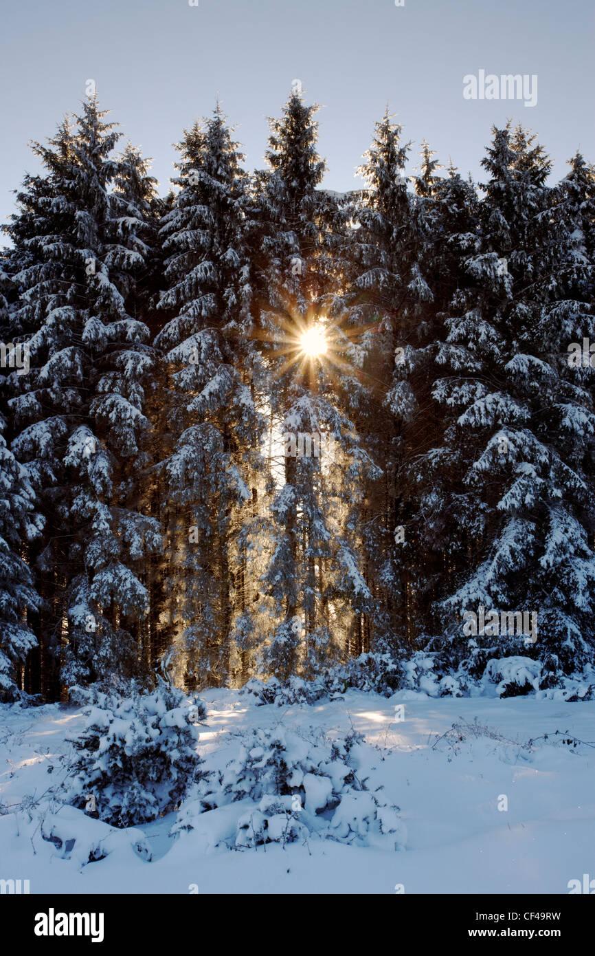 Sunburst dans la neige couverts pines pendant l hiver à Bellever woods sur  Dartmoor. c15848d5ace