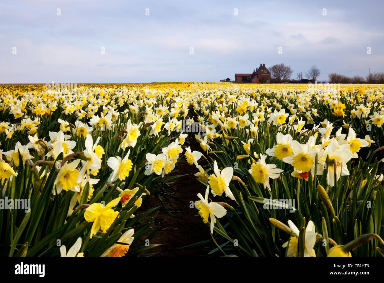 Un champ de jonquilles sur un matin de printemps avec une maison à l'horizon. Photo Stock