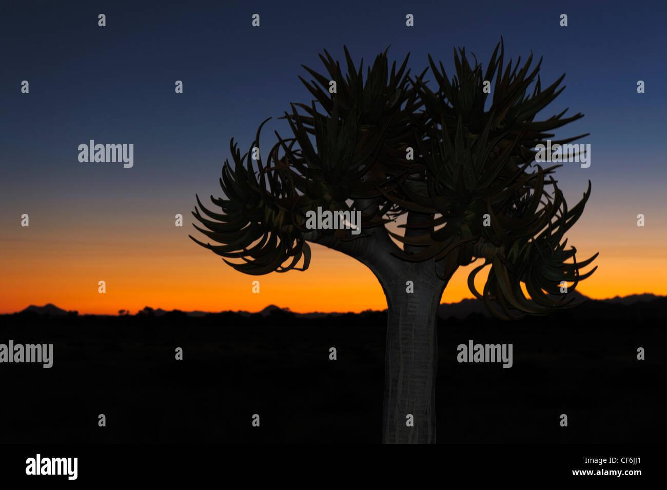 Qiuver tree (Aloe dichotoma) au coucher du soleil, Désert du Namib, Namibie. Photo Stock