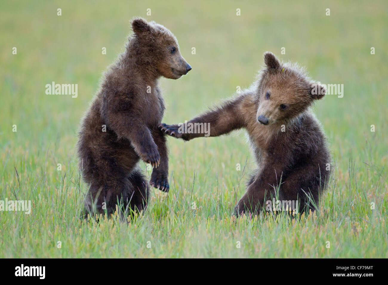 L'ours brun d'Alaska d'Oursons jouant Photo Stock