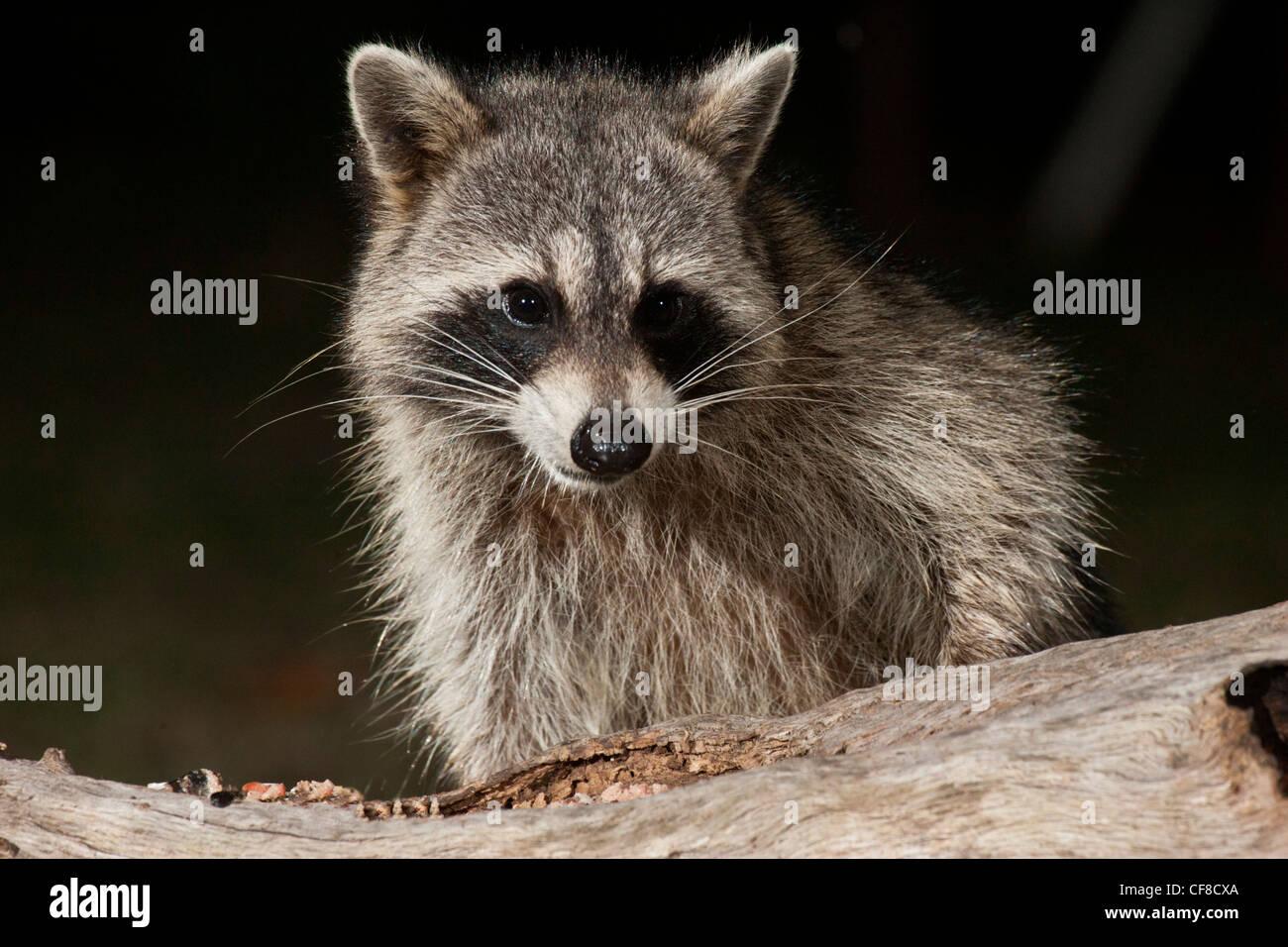 Dans la nuit du raton laveur au Texas Photo Stock