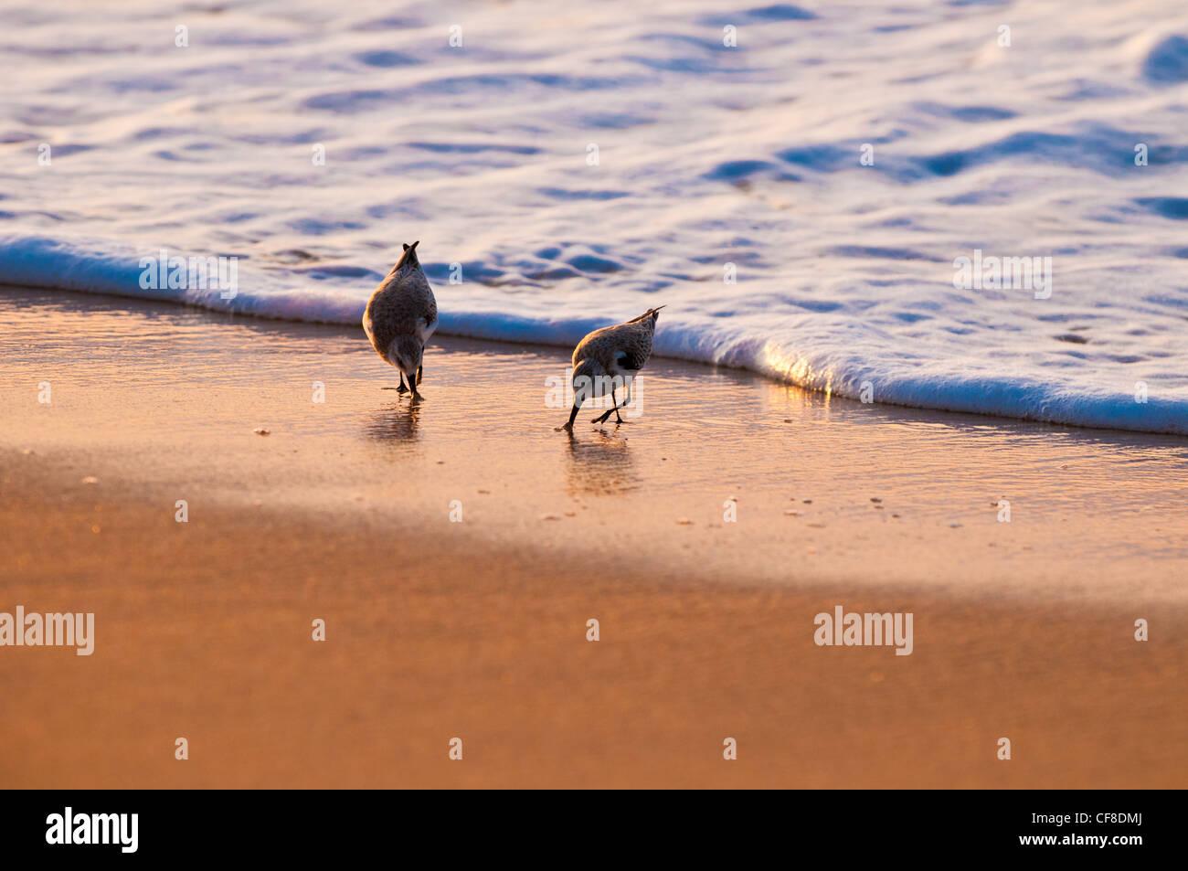 "Les Bécasseaux sanderling-'Hunakai"" en langue hawaiienne (Calidris alba), Polihale Beach, Kauai, Hawaii Banque D'Images"