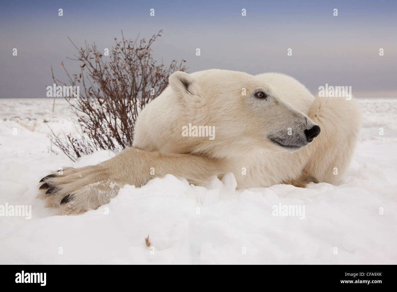 Close-up vue grand angle de l'ours polaire (Ursus Photo Stock