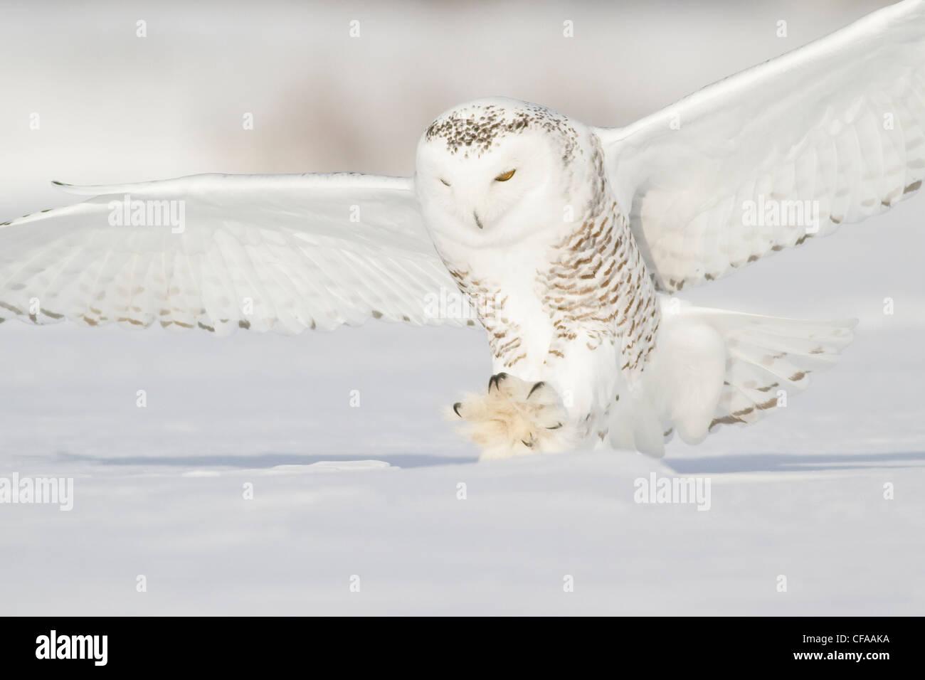 Le harfang des neiges (Bubo scandiacus) de chasser une proie en hiver. Photo Stock