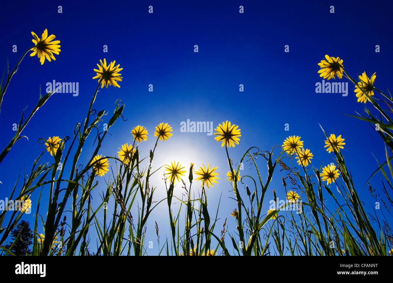 Salsifis jaune pour atteindre le soleil dans le parc provincial de la plage des brebis de jonction dans les prairies Photo Stock