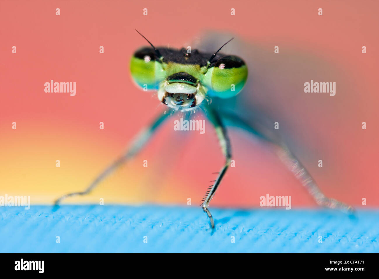 Close-up of dragonfly avec bouche ouverte Photo Stock
