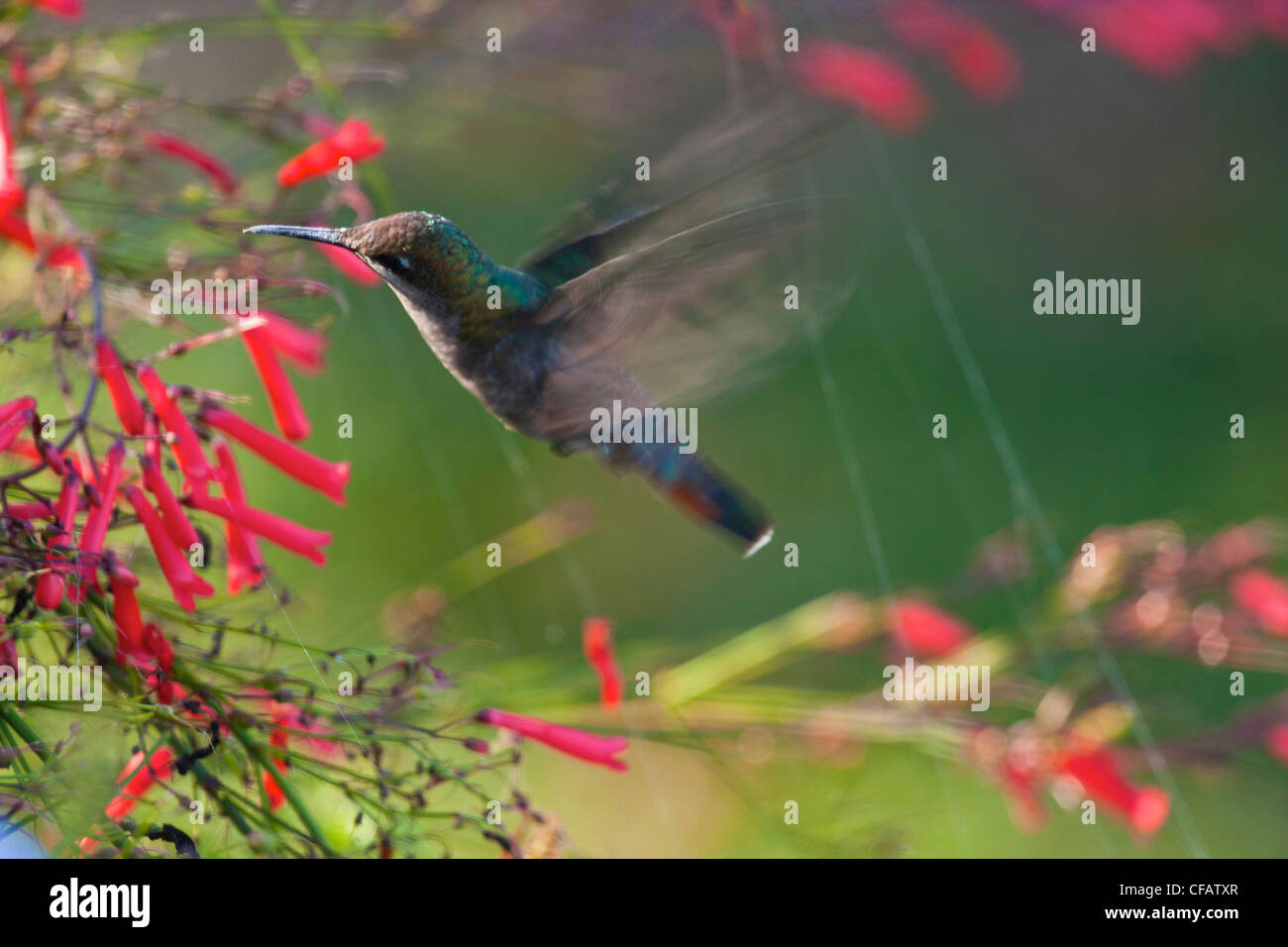 Humming-bird feeding in Tobago Photo Stock