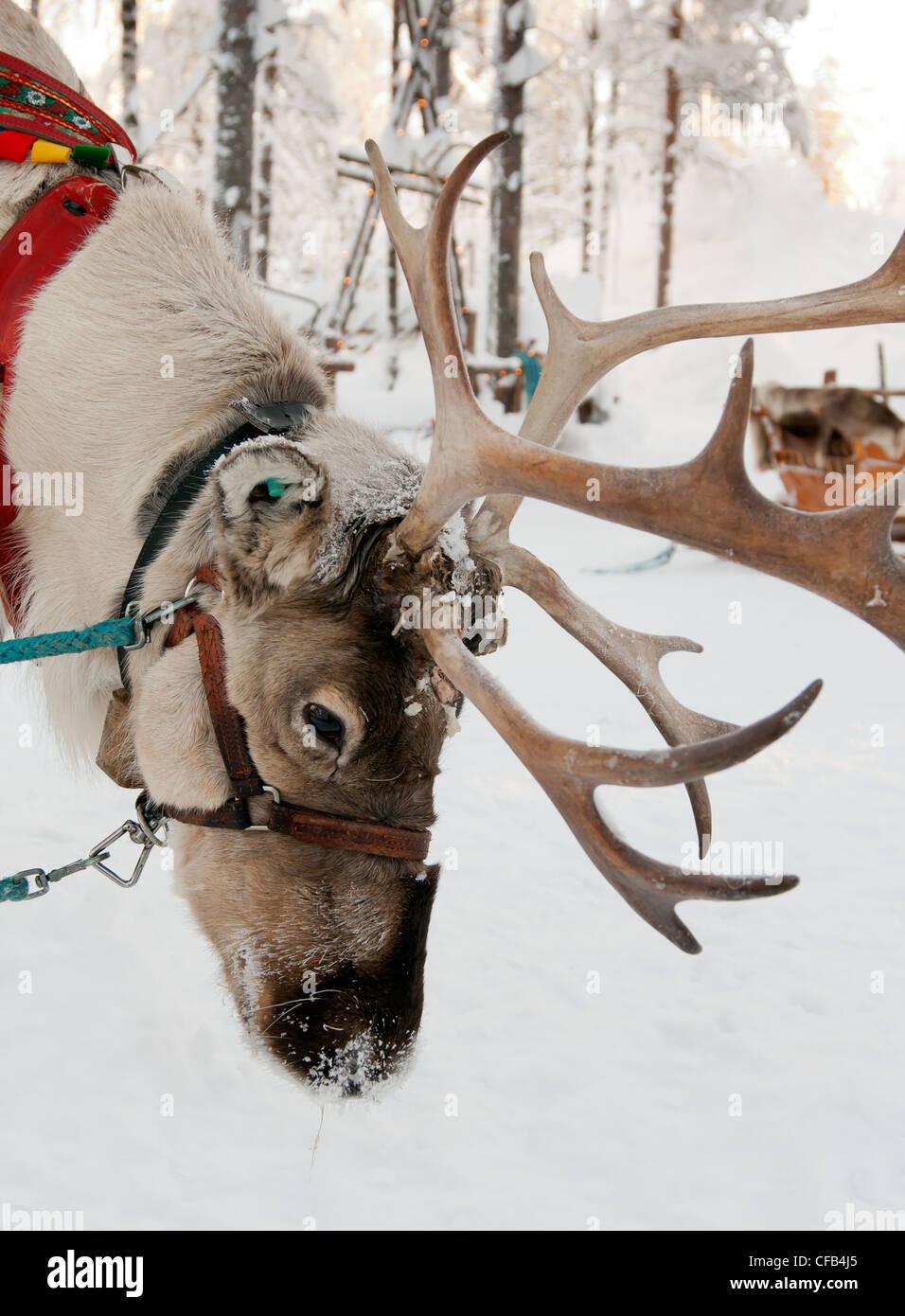 Le renne de Noël sur l'arrière-plan d'une forêt d'hiver Banque D'Images