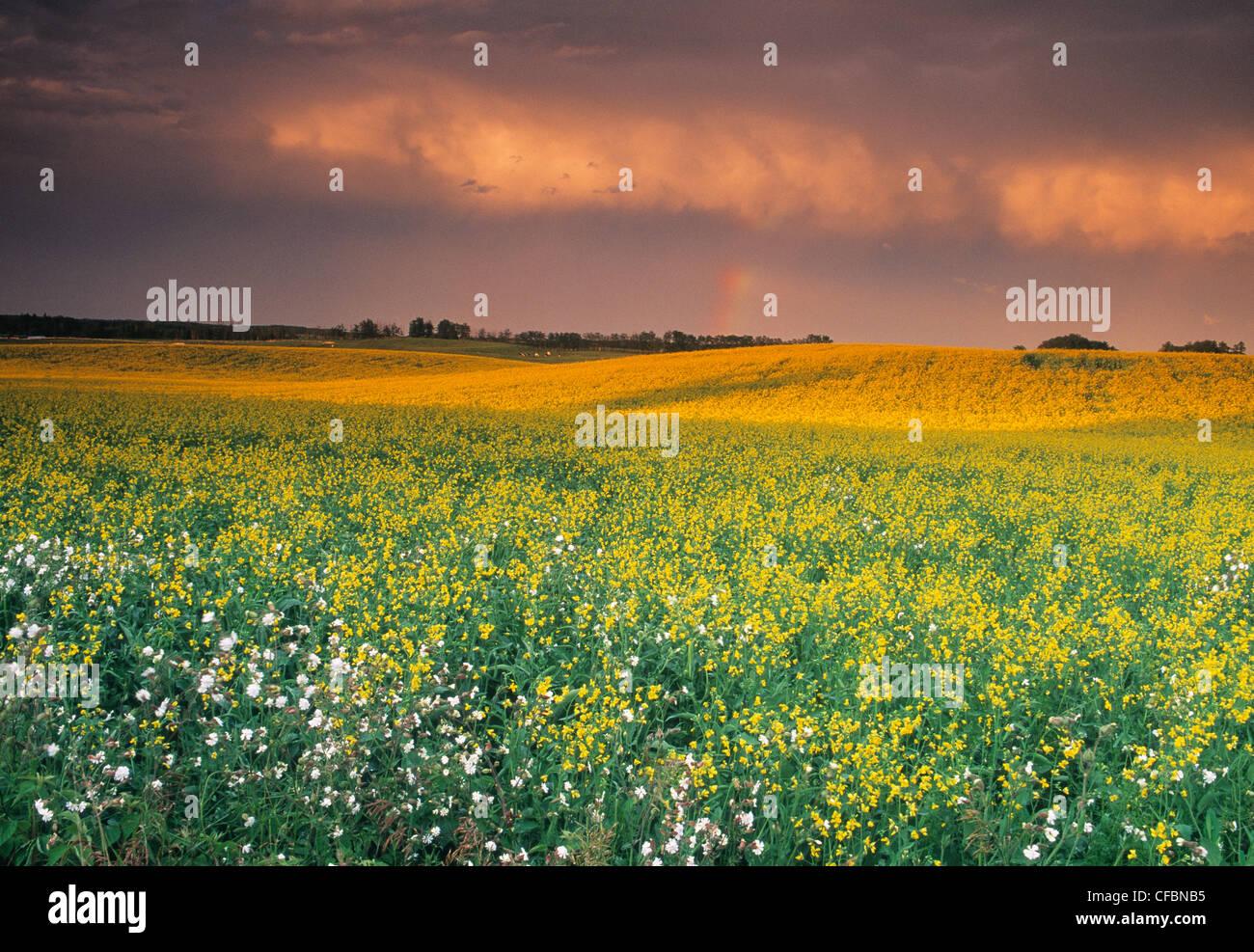Le canola et le ciel d'orage près de Regina, Saskatchewan, Canada Photo Stock