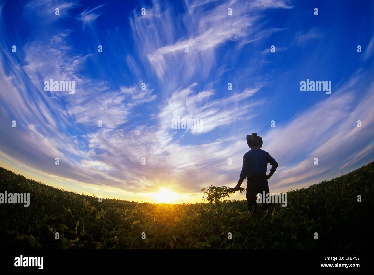 Un agriculteur donne sur sa récolte de soja venant à échéance au coucher du soleil près Photo Stock