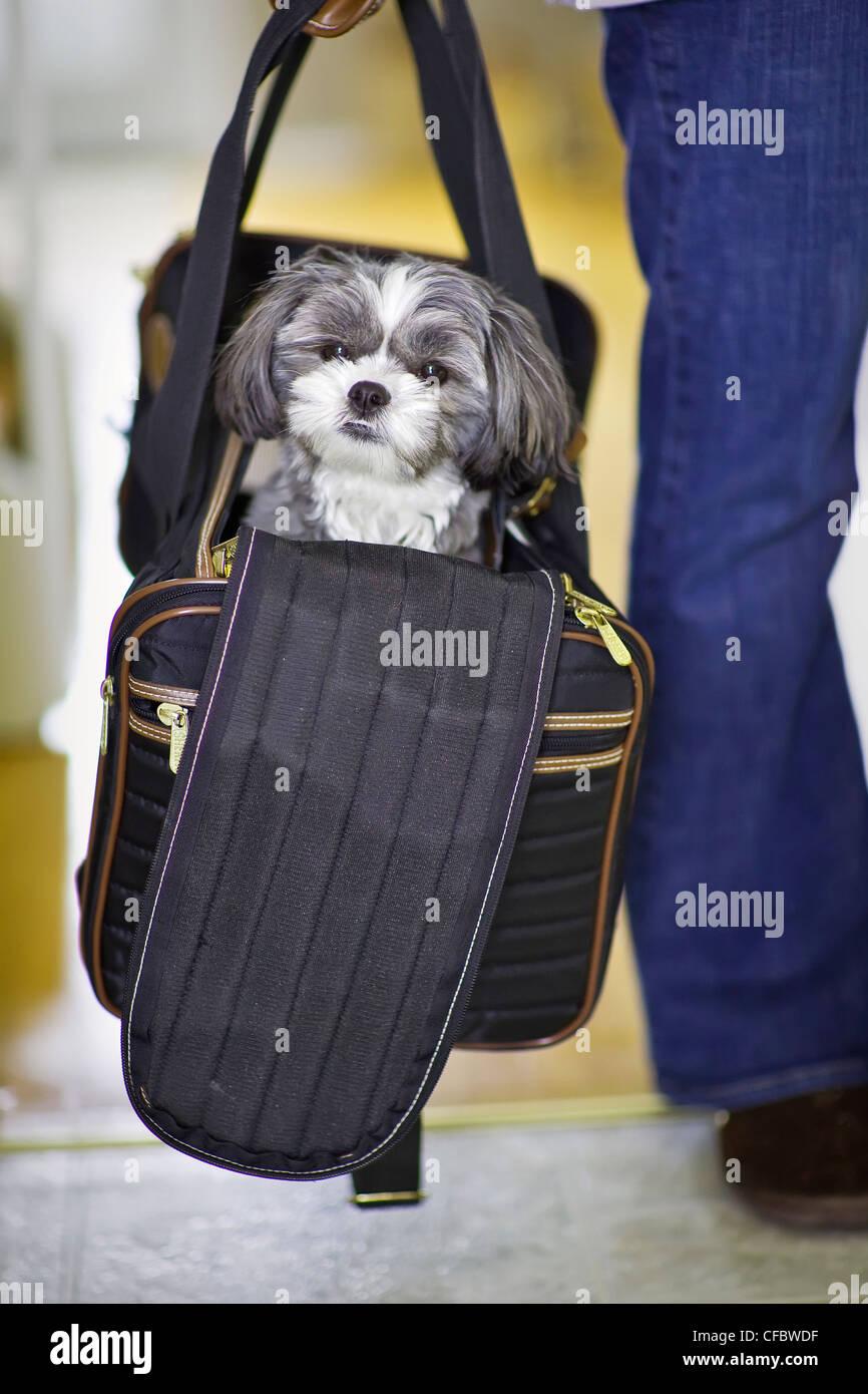 Malti-Zu Mal-Shi jeunes ou dans son sac de voyage, un hybride qui est une race d'un maltais et un Shih-Tzu. Photo Stock