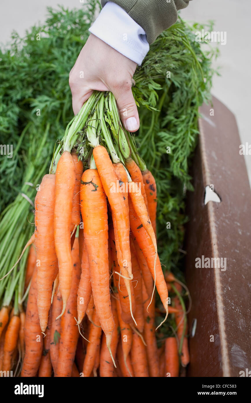 Woman holding fresh bunch of organic carrots à un marché en plein air. Winnipeg, Manitoba, Canada. Photo Stock