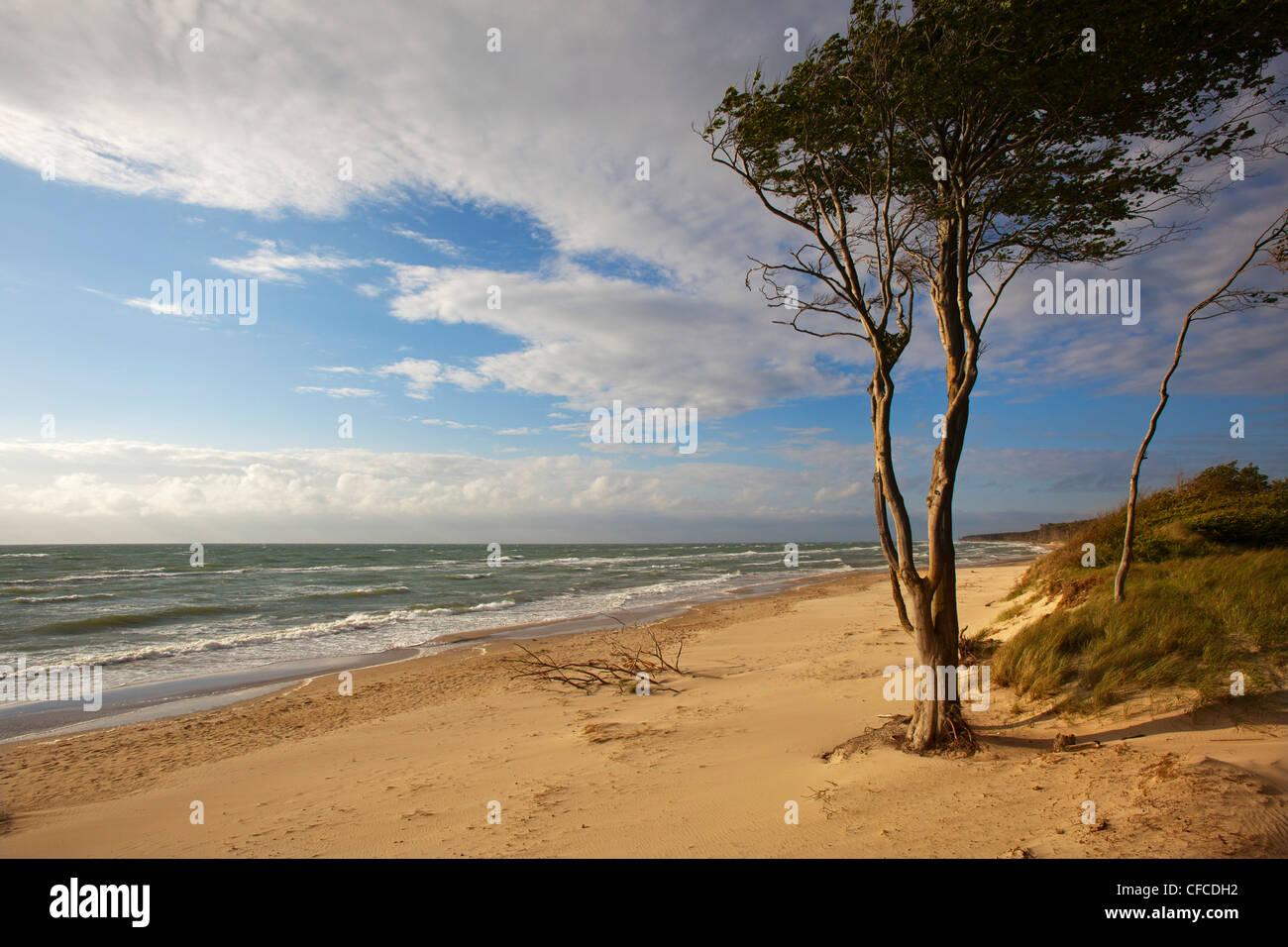 Darss à West Beach, Fischland-Darss-Zingst, mer Baltique, Schleswig-Holstein, Allemagne Banque D'Images