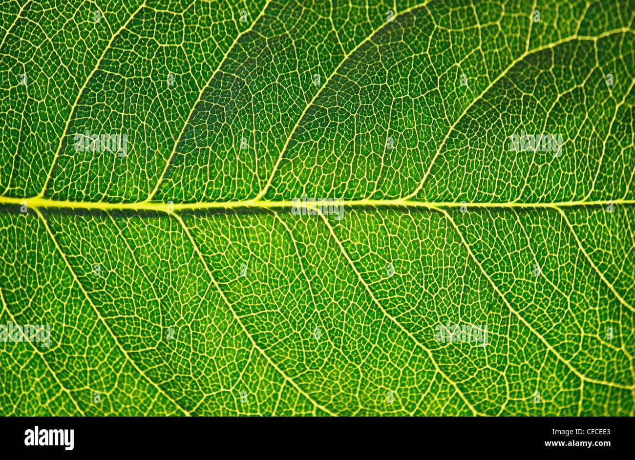Texture de la feuille verte en soleil, macro Photo Stock