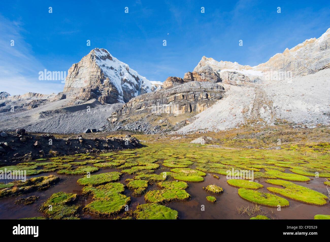 Cojines plantes sous cerro de Ritacuba, 5230m, El Cocuy Parc National, la Colombie, l'Amérique du Sud Photo Stock