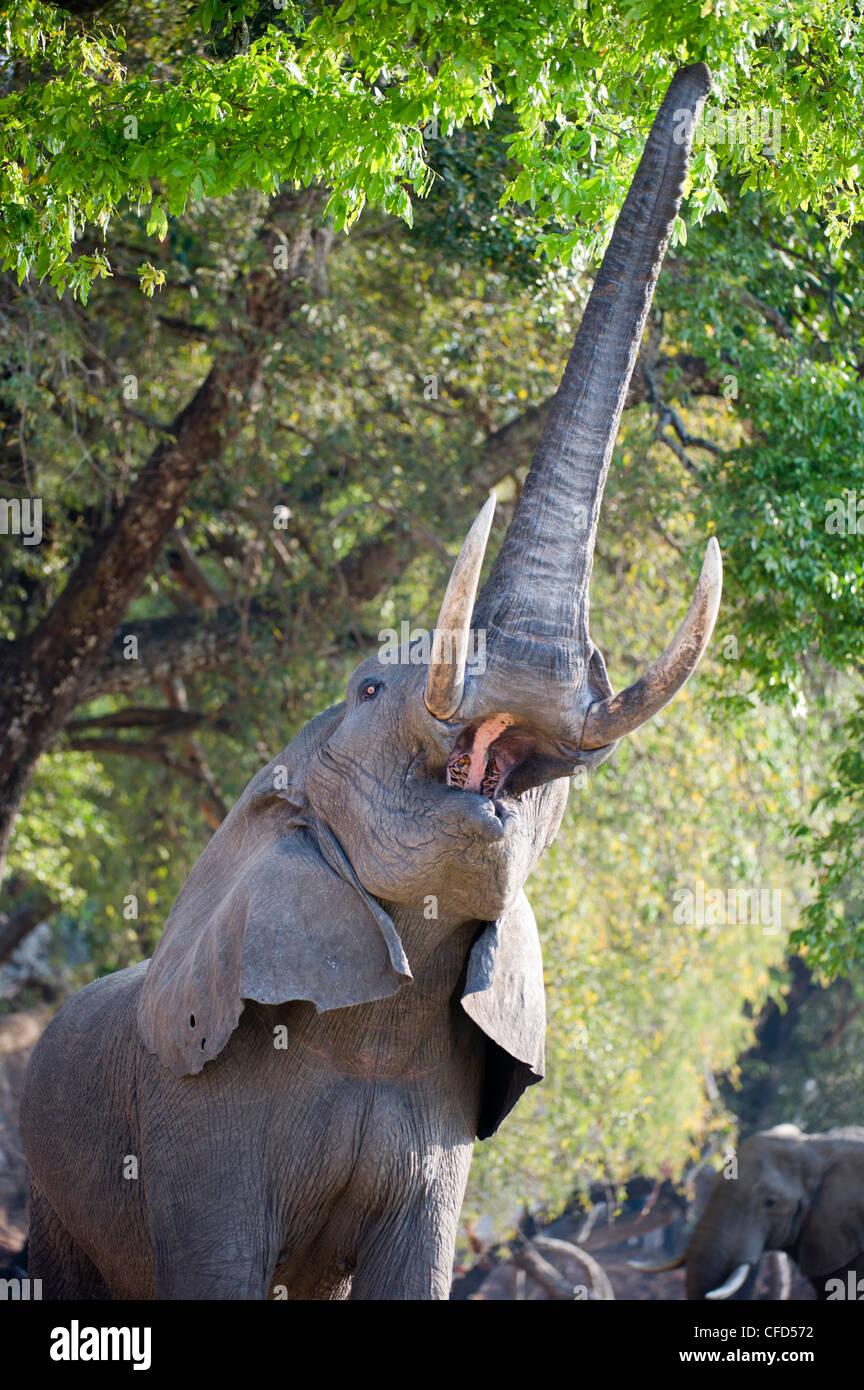 Bull adultes alimentation d'éléphants d'Afrique sur le feuillage sur les rives de la Rivière Luangwa. South Luangwa National Park, Zambie Banque D'Images