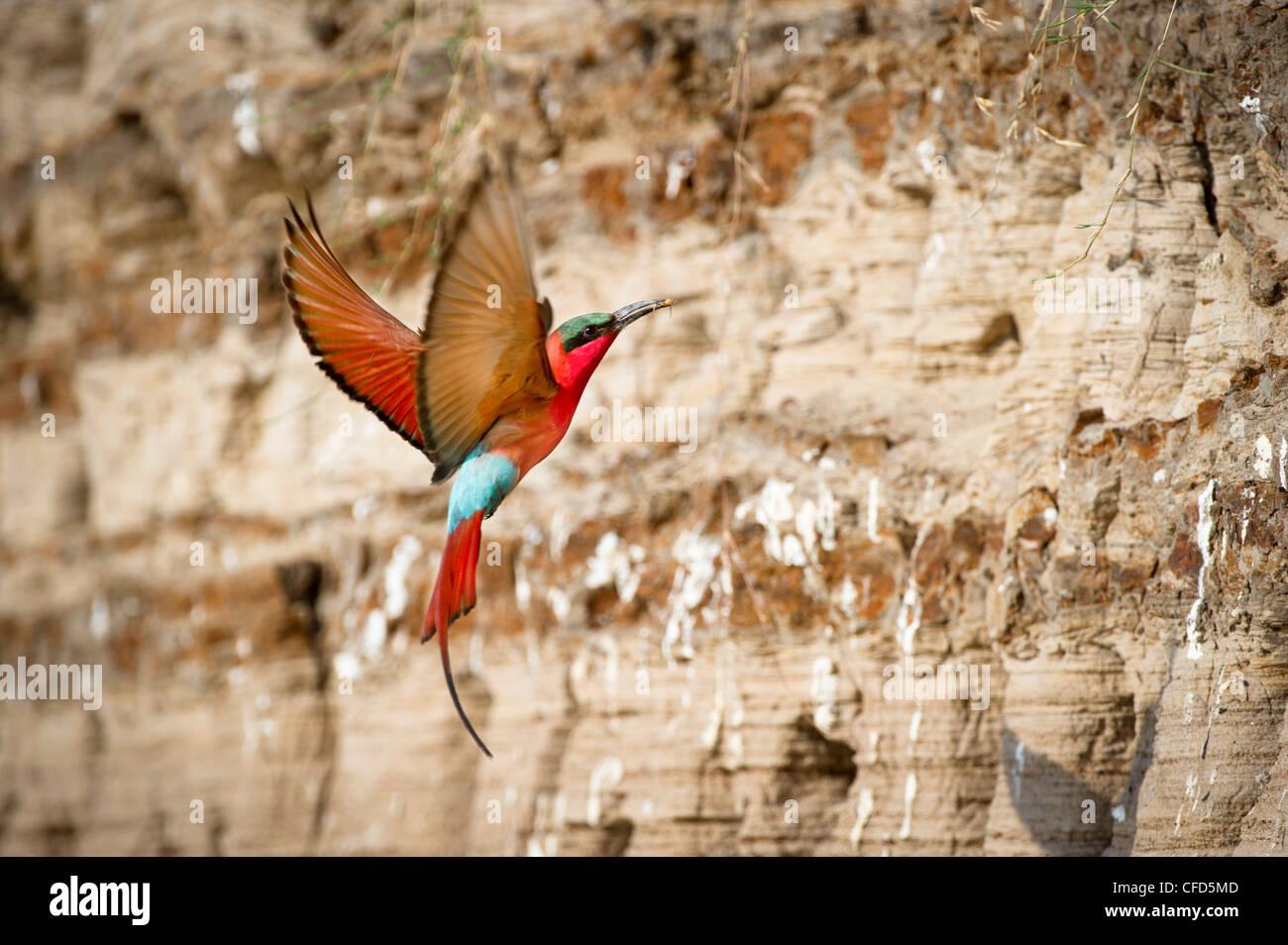 Le sud de Carmine Bee-eaters retourner à imbriquer les trous. Berges de la Rivière Luangwa. South Luangwa Photo Stock