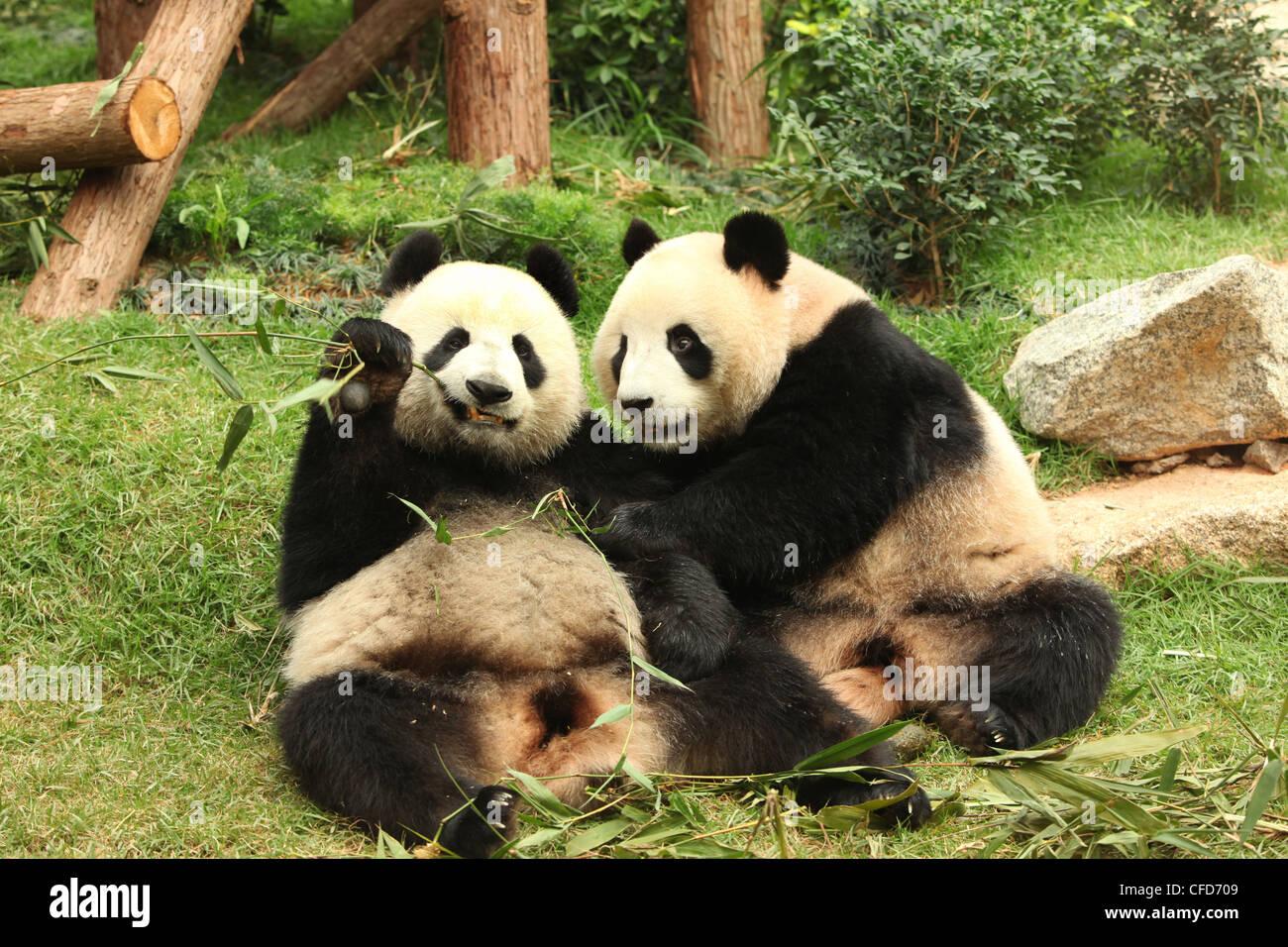 Le Panda Géant, Pandas, Macau, Macao Pavillion du panda Photo Stock