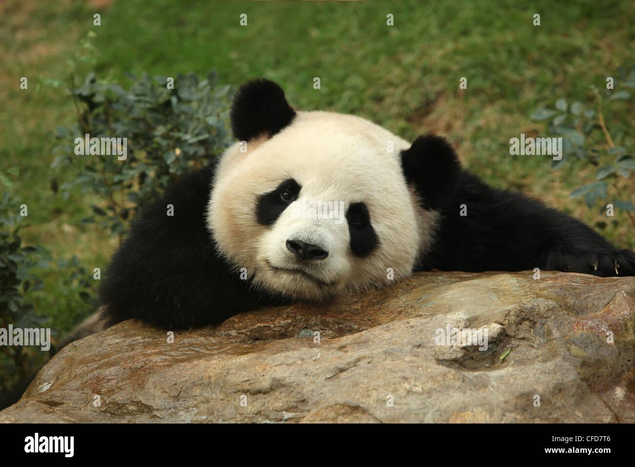 Grand Panda, Panda, Macau, Macao Pavillion du panda Photo Stock