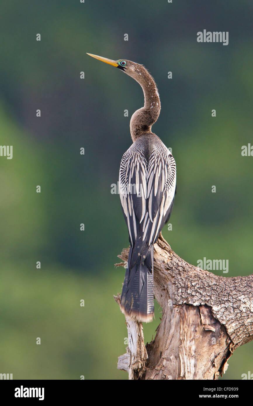 Anhinga (Anhinga anhinga) perché sur une branche au Costa Rica. Photo Stock