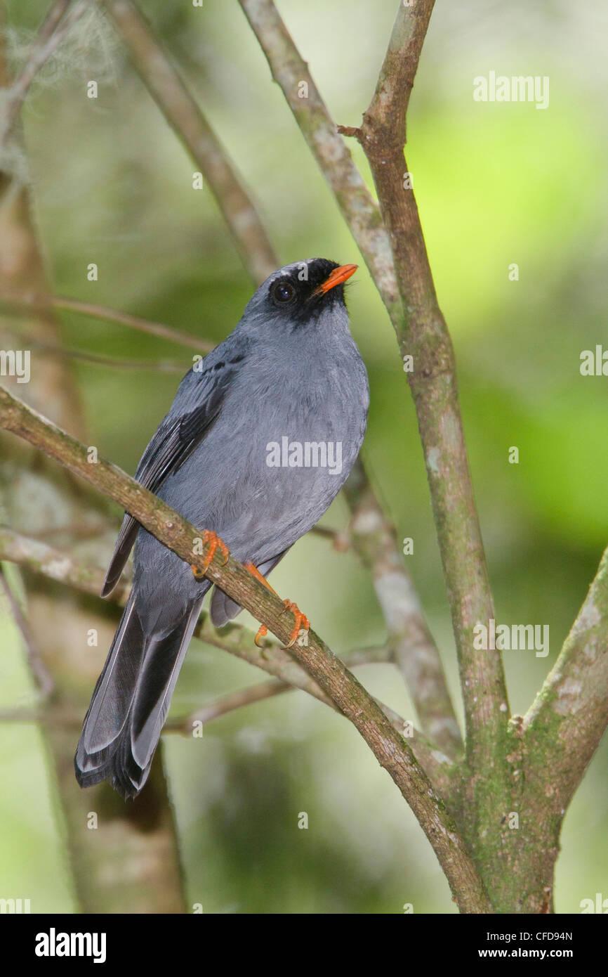 Solitaire à face noire (Myadestes melanops) perché sur une branche au Costa Rica. Photo Stock