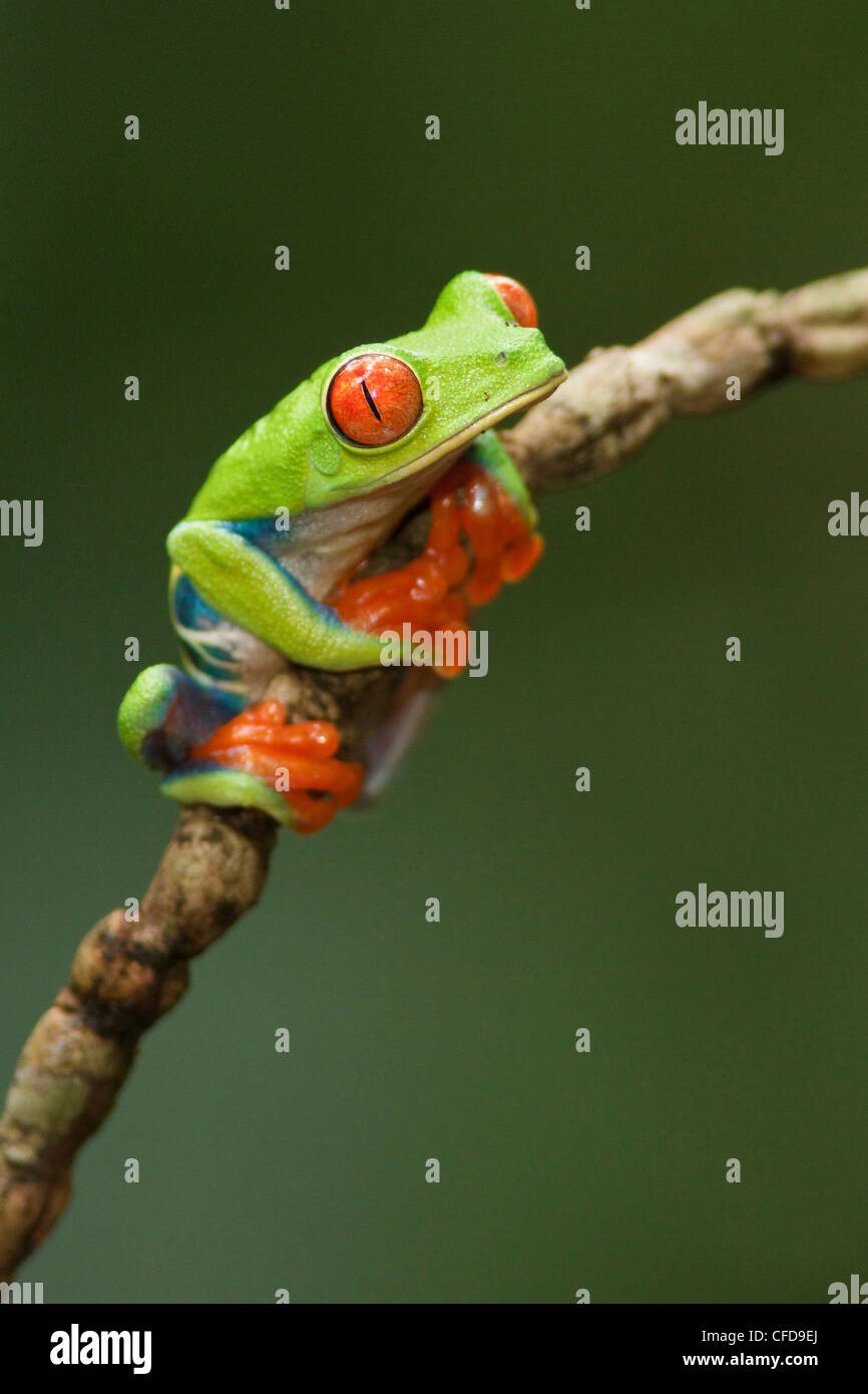 Red-eyed Tree Frog perché sur une branche au Costa Rica. Photo Stock