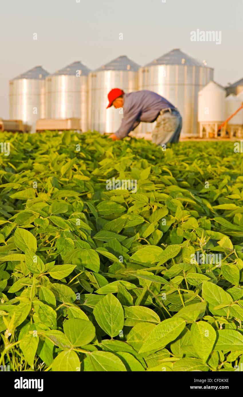 Au milieu de l'homme champ de soja de croissance, les cellules à grains(silos) dans l'arrière-plan, Lorette, Manitoba, Banque D'Images