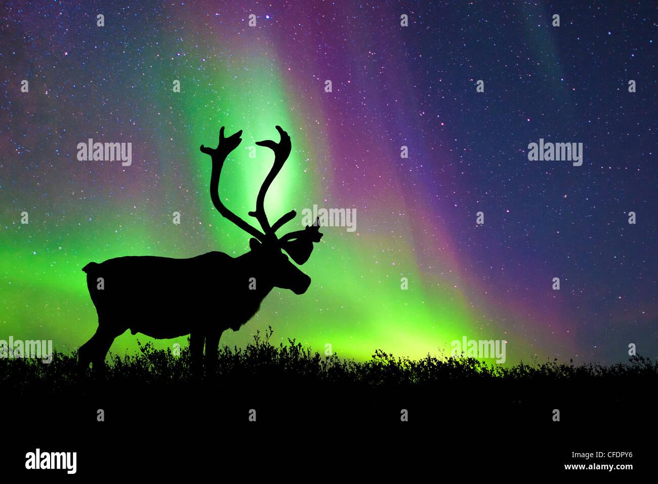 Bull Caribou Rangifer tarandus silhouetté Banque D'Images