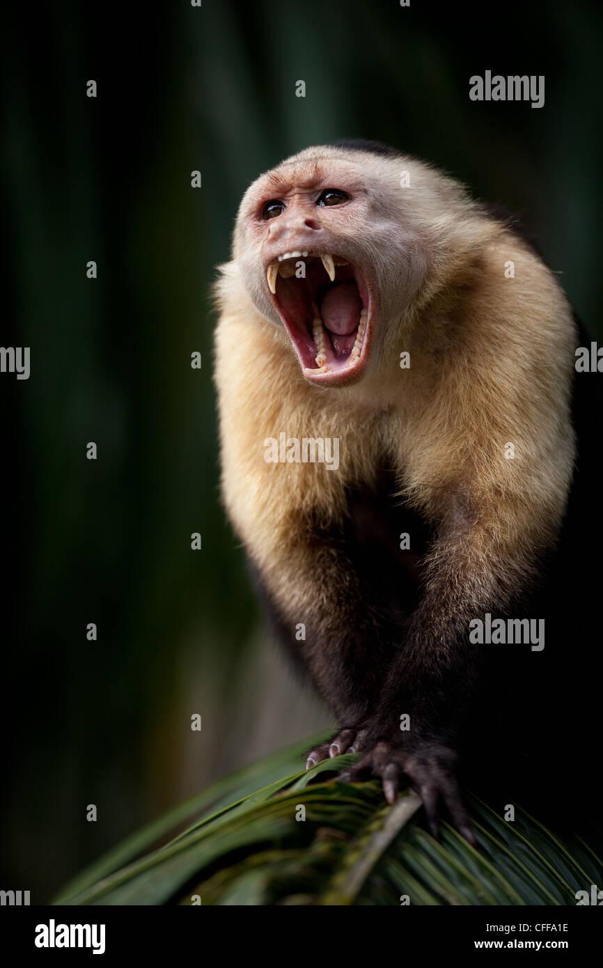 Capuchin à face blanche, imitateur Cebus, mâle alpha, sur une île du lac de Gatun, République du Panama. Banque D'Images