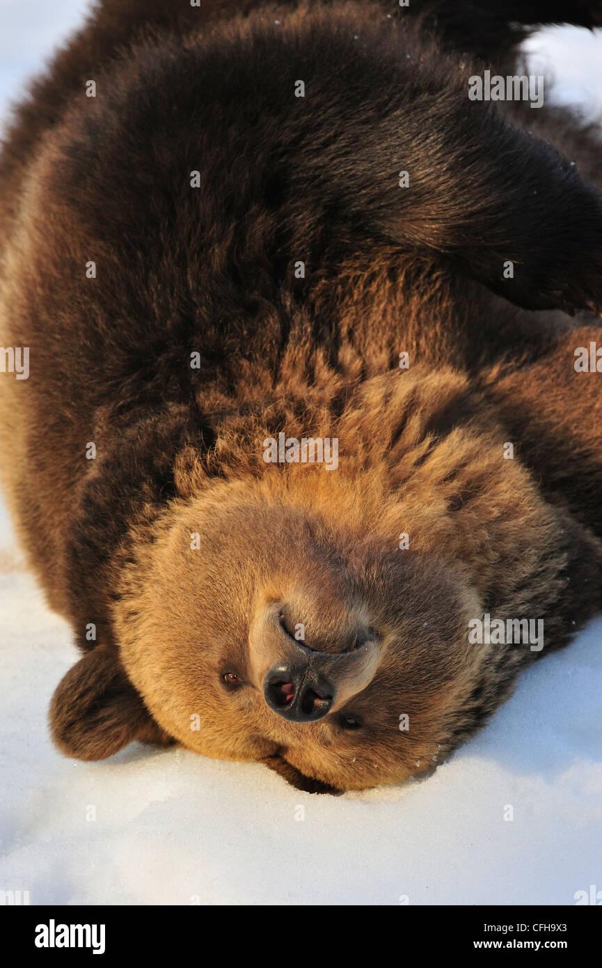 Eurasien paresseux ours brun (Ursus arctos arctos) couchée dans la neige en hiver et rouler sur le dos, de Photo Stock
