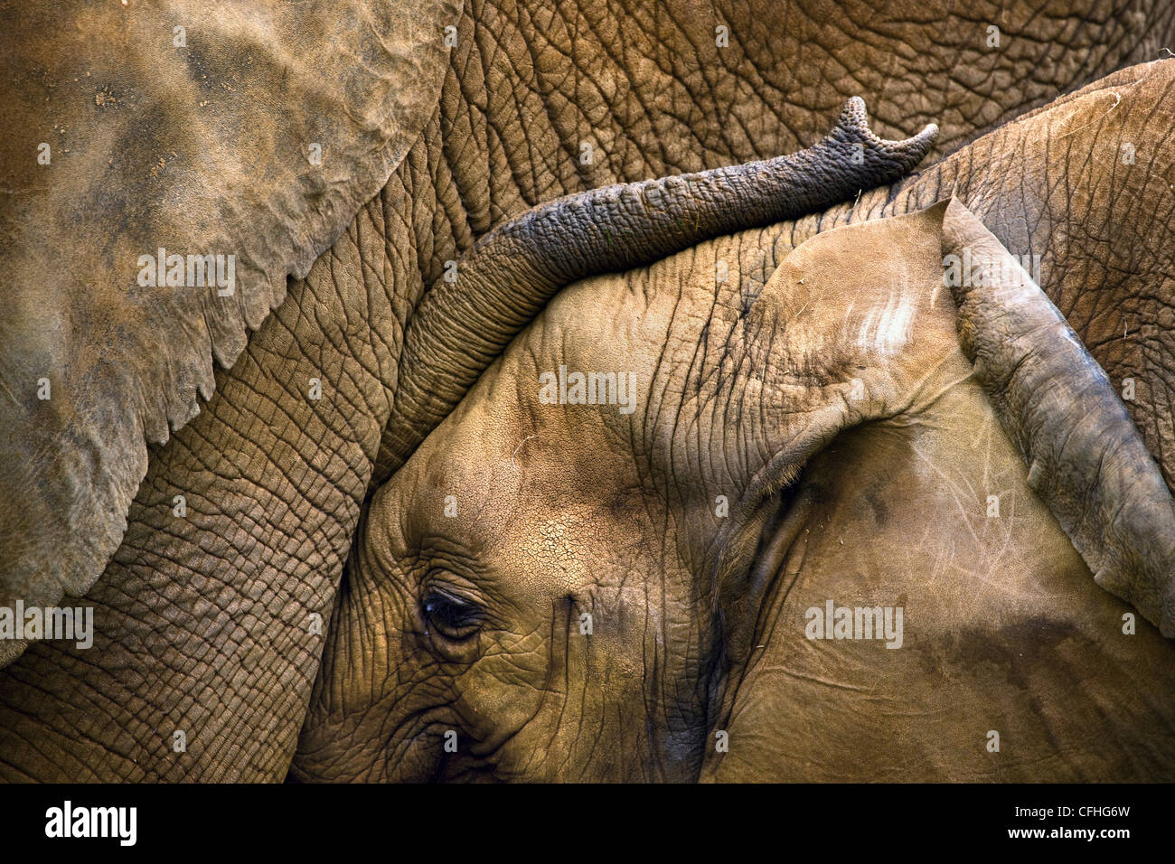 Les jeunes avec la mère de l'eléphant d'Afrique, l'Espagne, de Cabarceno Photo Stock