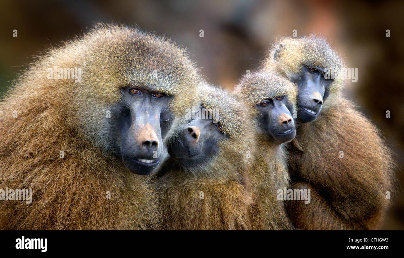Le babouin de Guinée, de la famille, de l'Espagne de Cabarceno Photo Stock