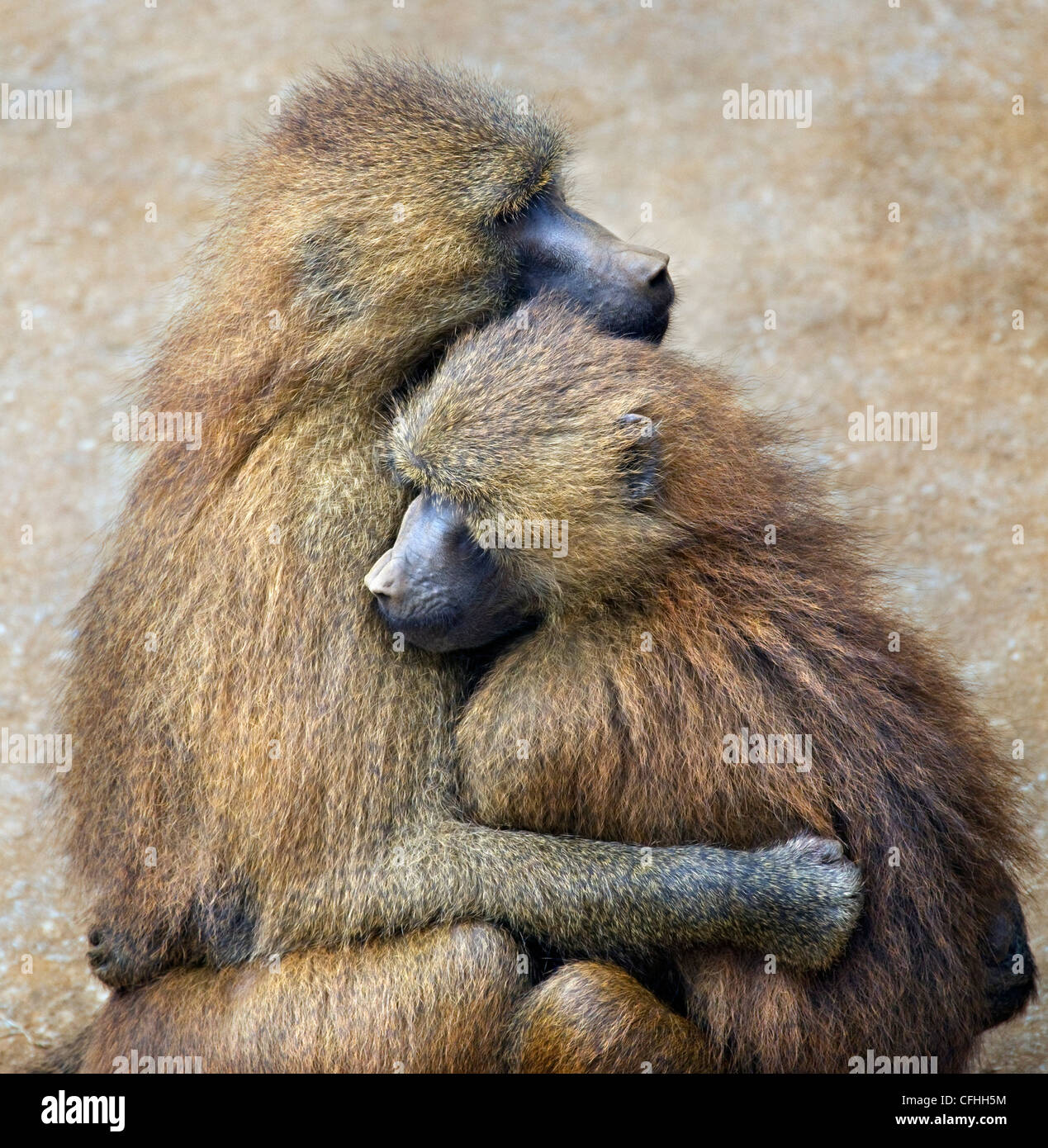 Le babouin de Guinée, de l'Espagne de Cabarceno, couple Banque D'Images