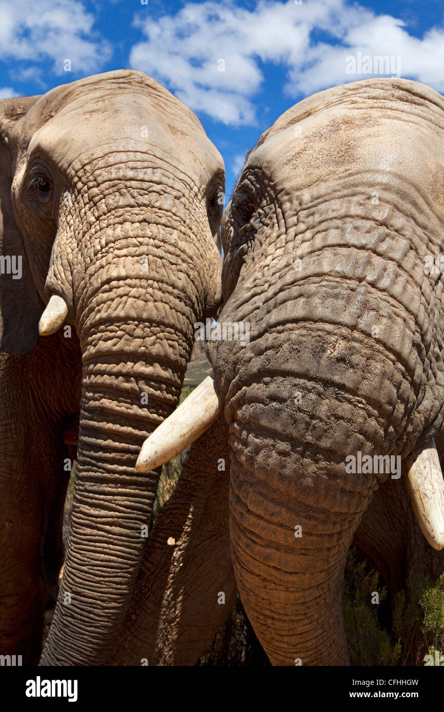 Close up de deux éléphants africains, Afrique du Sud Photo Stock