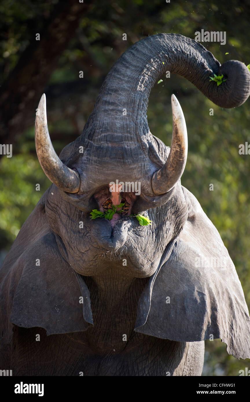 Bull adultes alimentation d'éléphants d'Afrique. Berges de la Rivière Luangwa. South Luangwa Photo Stock